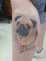 mops Daisy  Tetování - kérky - Tattoo